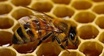 Бурзянская пчела