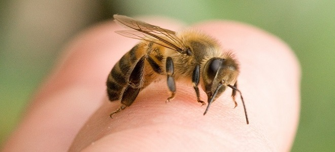 Пчела сидит на пальце