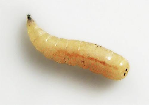 Личинка мухи