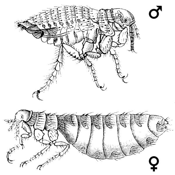 Алакурты (самка и самец)