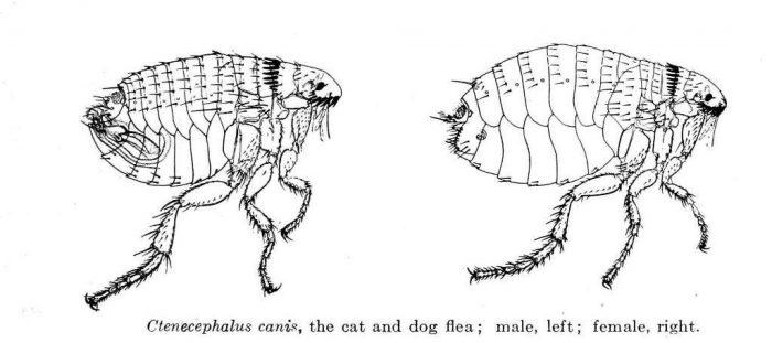 Собачья блоха