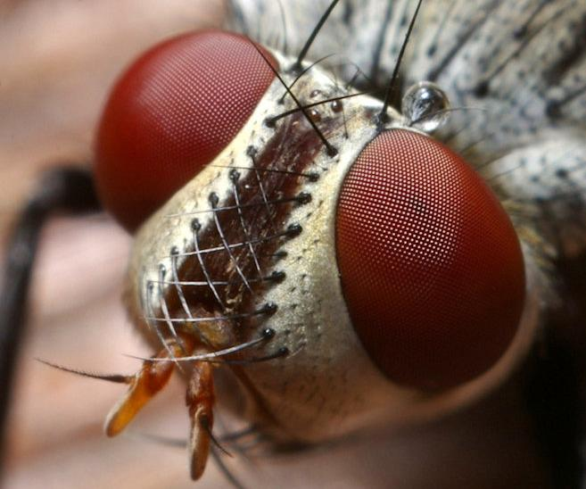 Голова комнатной мухи