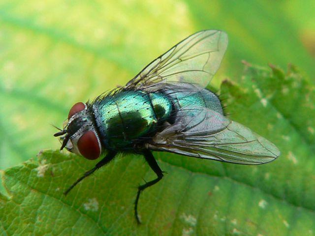 Зелёная муха