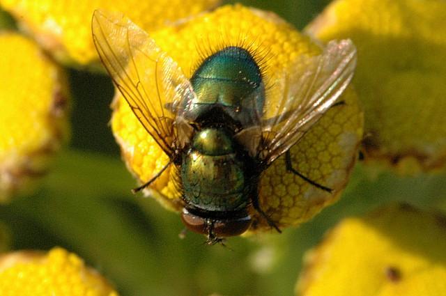 Зелёная муха на цветке
