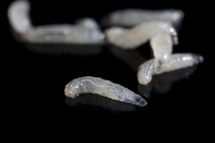 Личинки дрозофилы