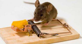 мышь и мышеловка с приманкой