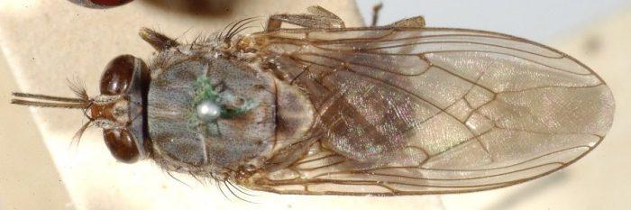 Крылья мухи цеце