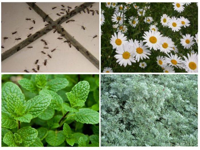 Растения, отпугивающие муравьёв