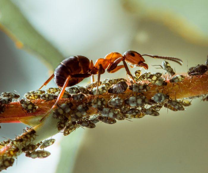 Муравьи питаются от тли