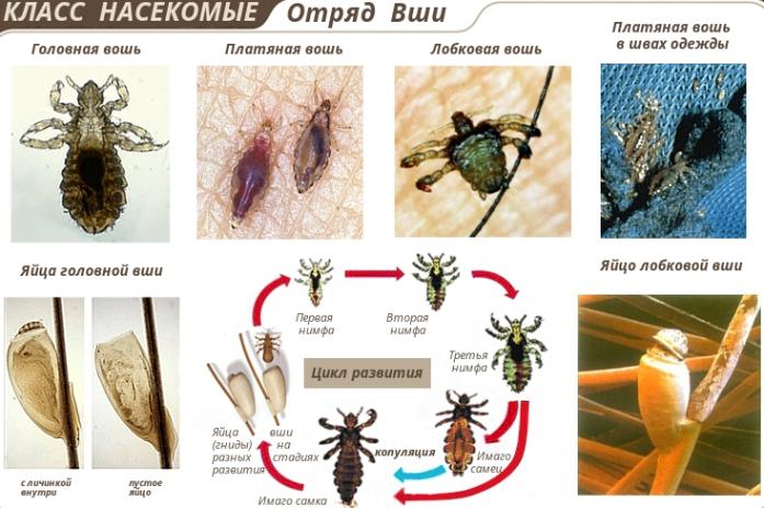 виды вшей и цикл их развития