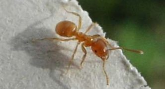 Жёлтый садовый муравей