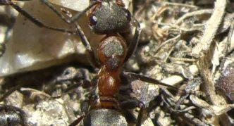 Луговой муравей