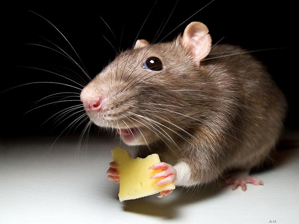 Виды отравы для мышей и рецепты домашнего приготовления