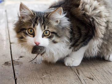 Кот словил мышь