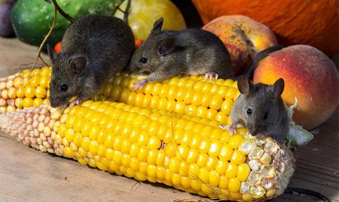 Мыши и урожай