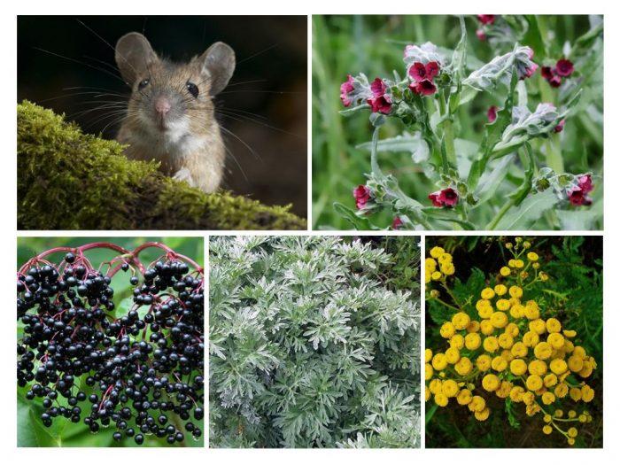 Травы от мышей