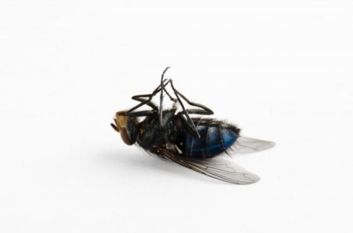 Мёртвая муха