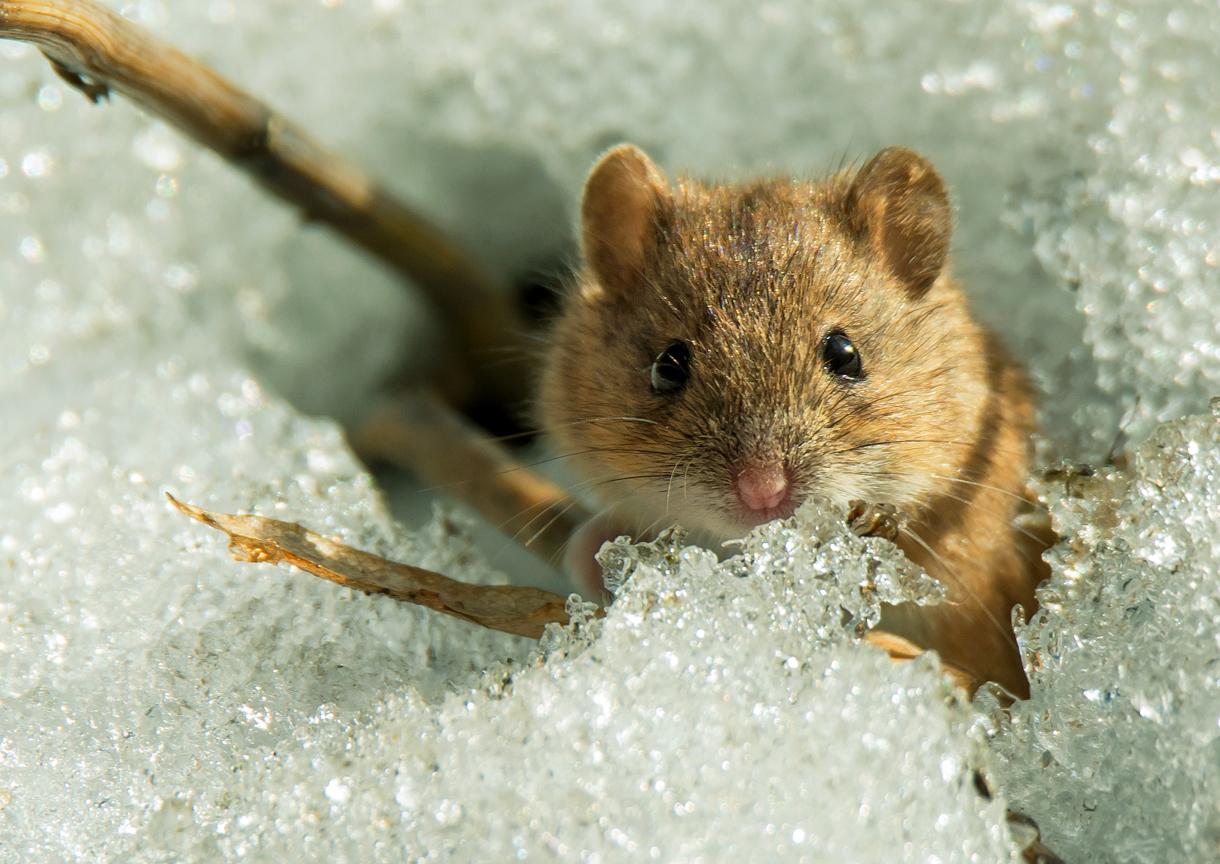 Мыши — вон из сада!