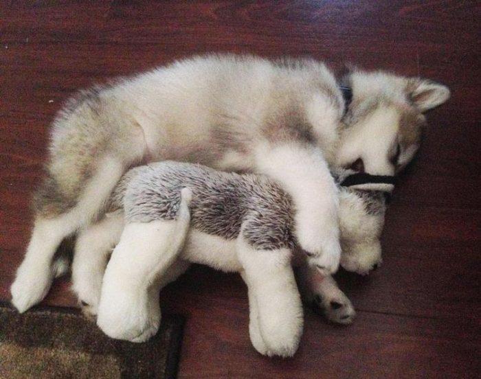 Щенок маламута с игрушкой
