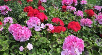 Растение герань розовая
