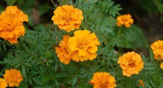 Растение бархатцы