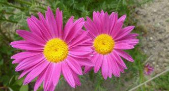 Растение ромашка кавказская