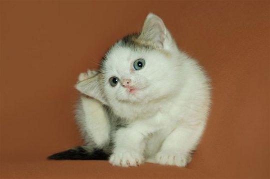 Котёнок с блохами