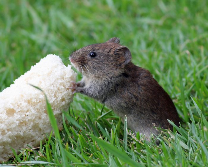 Мышь ест приманку