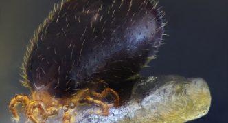 Змеиный клещ (Ophionyssus natricis)