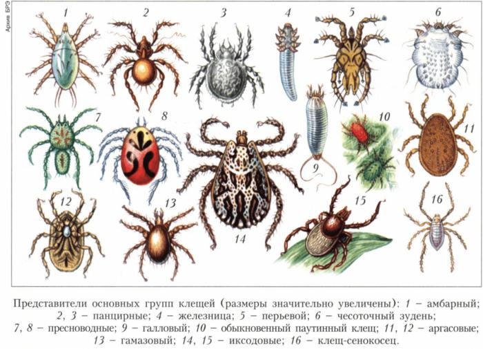 Разные виды клещей