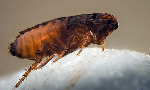 Увеличенная блоха коричневого цвета