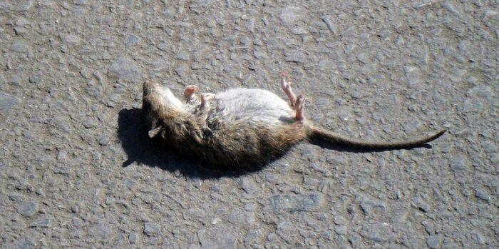 Мёртвый грызун лежит на спине