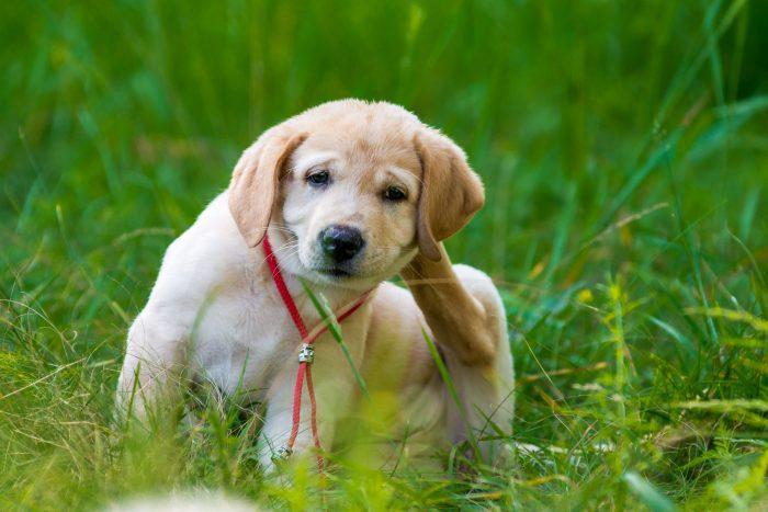 Почёсывание щенка