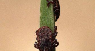 Бурый собачий клещ, два паразита на зелёном стебле