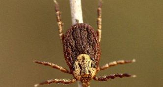 Пастбищный клещ на ветке, поверхность тела похожа на скорлупу грецкий орех