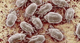 Чесоточные клещи под микроскопом
