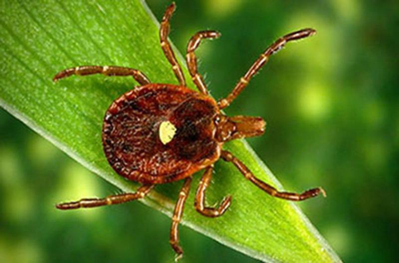 Как передвигаются клещи: умеют ли они прыгать или летать, как паразиты заползают на человека || Умеют ли клещи летать