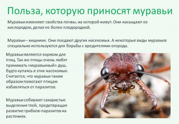 польза муравьёв