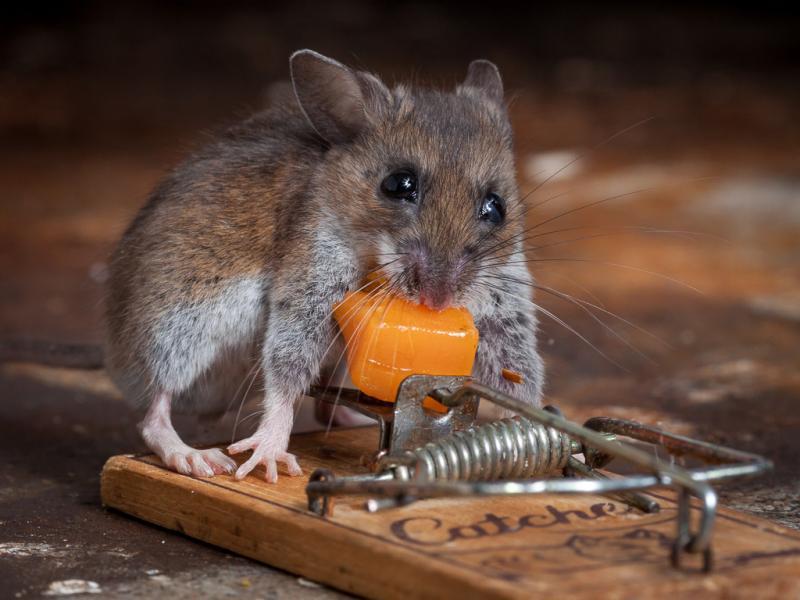 Средства для уничтожение крыс: клей, отрава, дымовые шашки