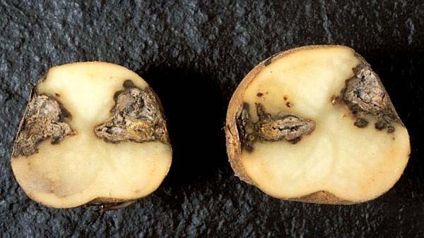 Фомоз картофеля