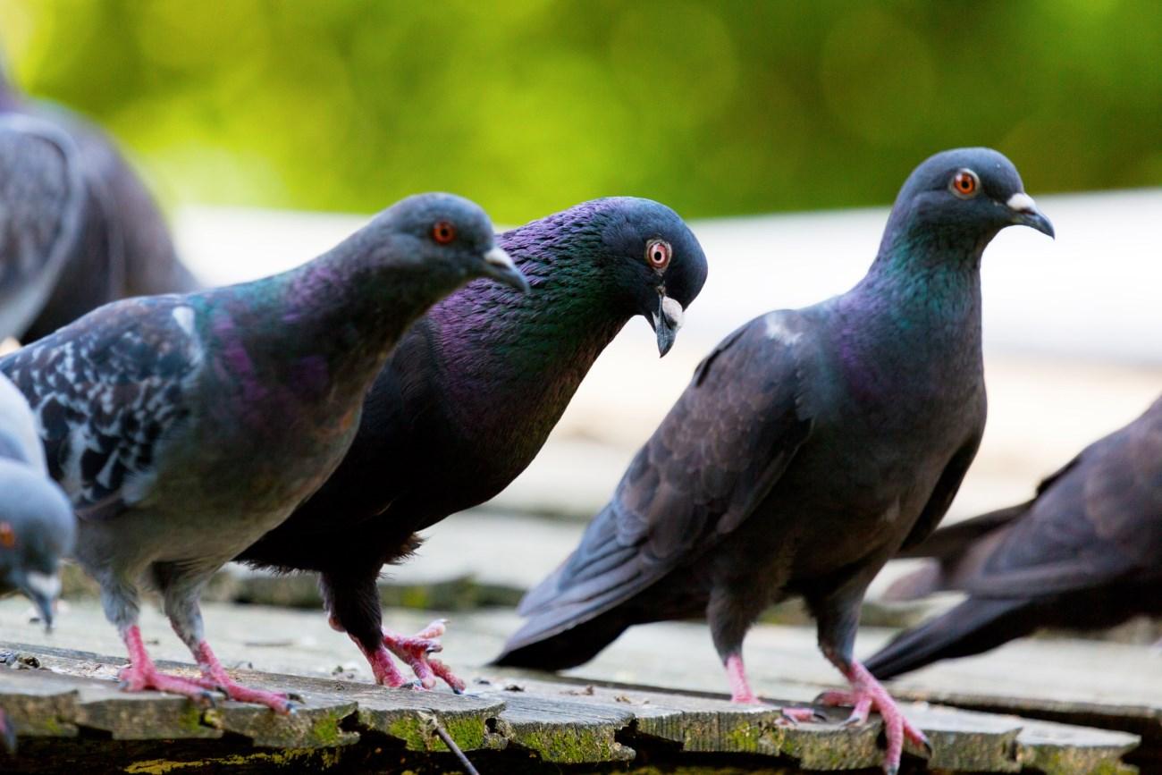 Голуби на балконах и чердаках: действенные способы избавления
