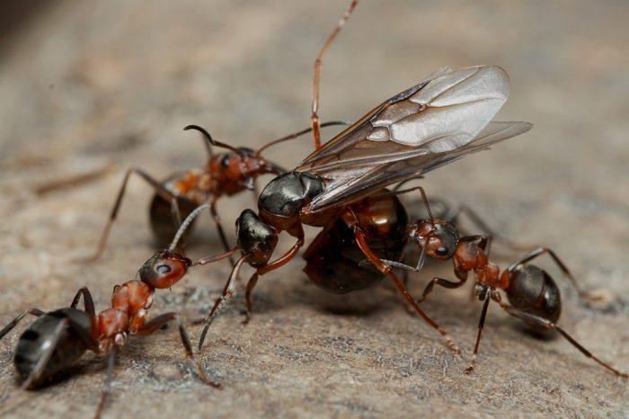 Лесные рыжие муравьи на охоте