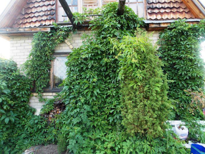 зелёные насаждения на стене дома