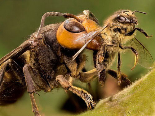 нападение шершня на пчелу