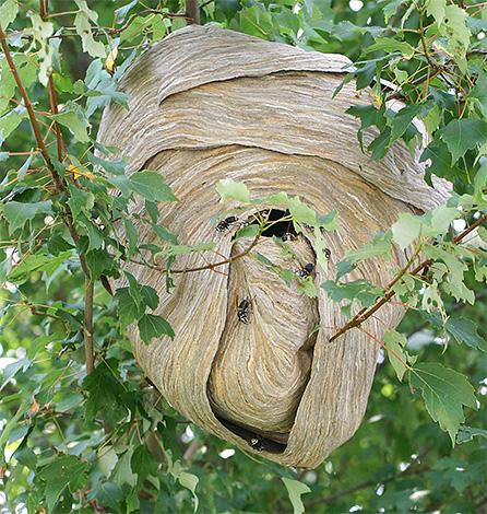 гнездо шершней в листве дерева