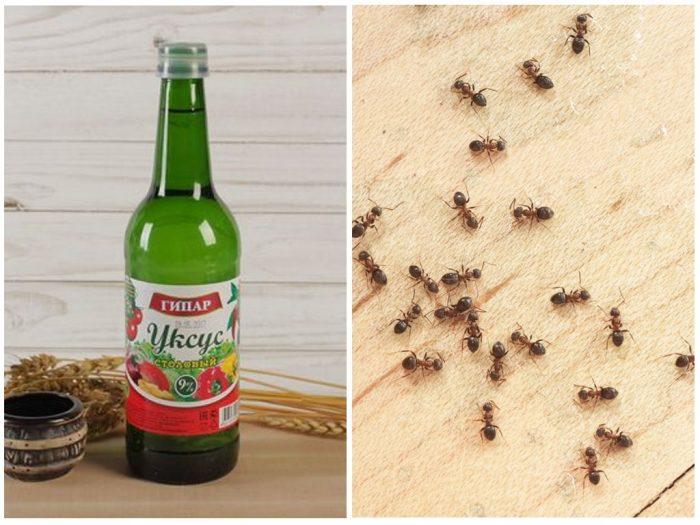 Уксус и муравьиная колония