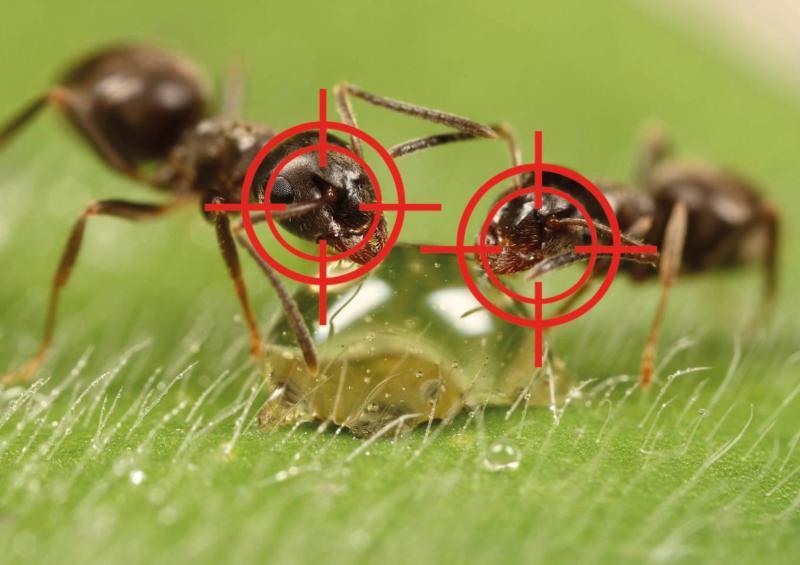Борная кислота от муравьёв на огороде и в квартире