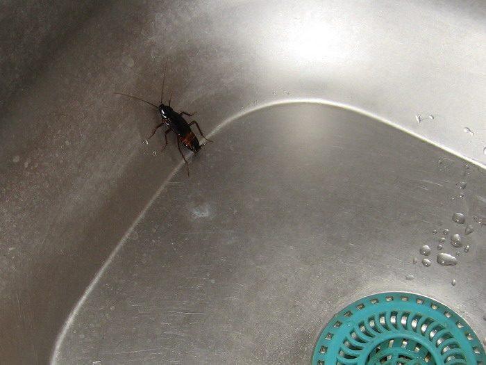 Таракан в раковине