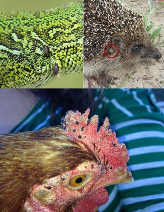 Клещи на диких и домашних животных