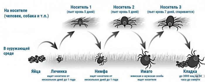 цикл жизни клеща